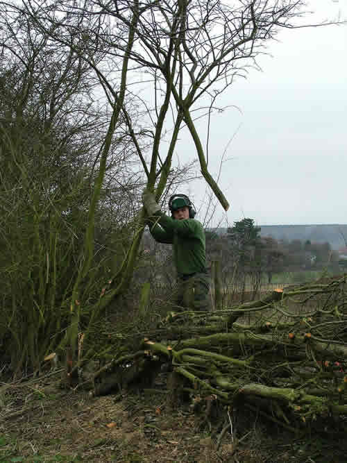 Hedgelaying at Sudborough
